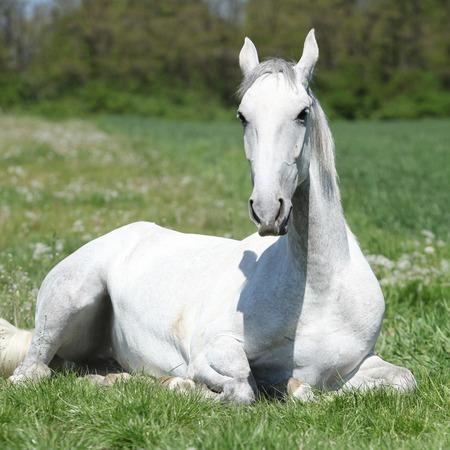 lipizzaner: White horse lying on green grass in spring