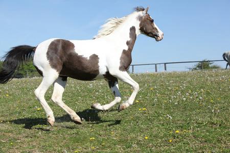 skewbald: Nice skewbald pony running on pasturage in summer