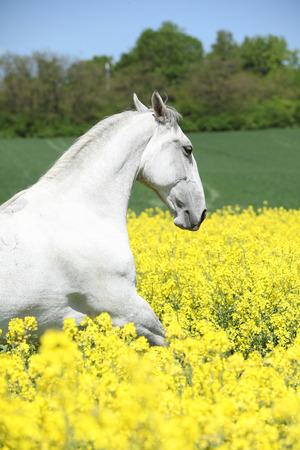 lipizzaner: White lipizzaner in colza field in spring Stock Photo