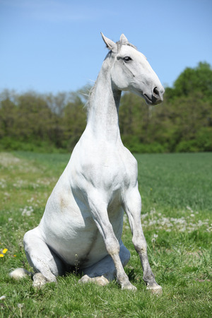 inaction: Amazing sitting white horse in spring nature
