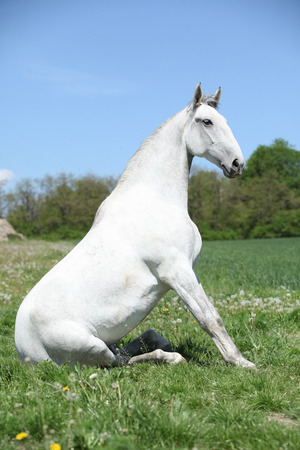 lipizzaner: Amazing sitting white horse in spring nature
