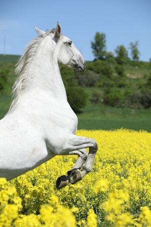 lipizzaner: Amazing white lipizzaner stallion prancing in spring