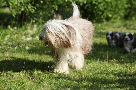 Beautiful Bearded Collie running in the garden photo