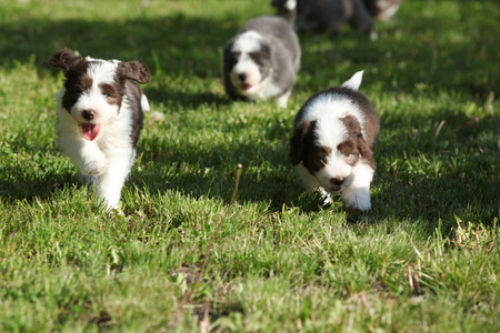 Amazing puppies of Bearded Collie running together photo