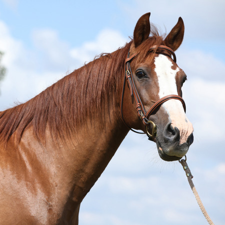 warmblood: Beautiful chestnut warmblood with bridle standing on green field