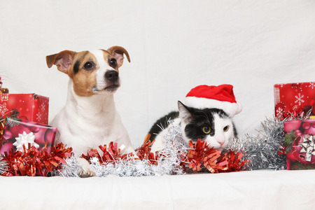 Christmas Jack Rusell terrier with a cat on white background photo