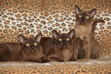 Beautiful brown Burmese cats in front of blanket