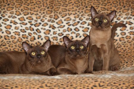 Mooie bruine Birmaanse katten in de voorkant van deken