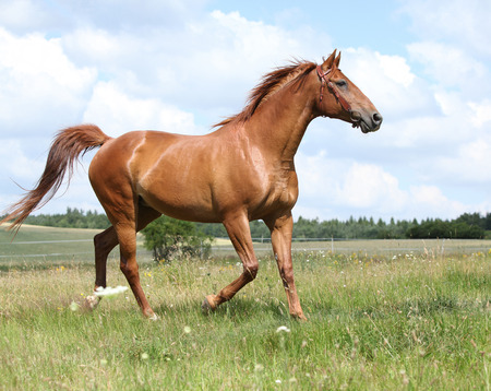 warmblood: Amazing chestnut Budyonny horse running on meadow