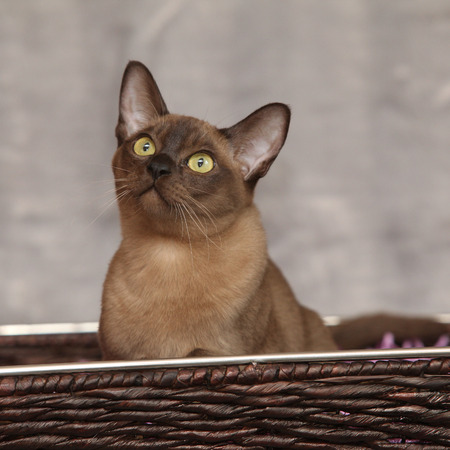 Beautiful brown Burmese cat in front of silver blanket
