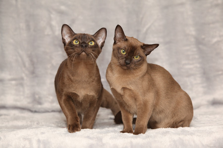 Beautiful brown Burmese cats in front of silver blanket Stockfoto