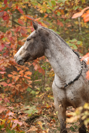 appaloosa: Portrait of nice appaloosa mare standing in autumn forest