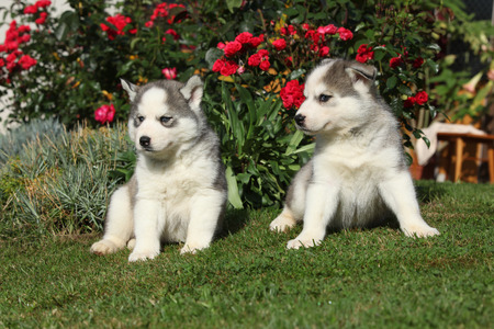 Two gorgeous puppies of siberian husky sitting in front of red roses photo