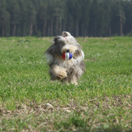 vigilant: Bearded collie running in nature in summer