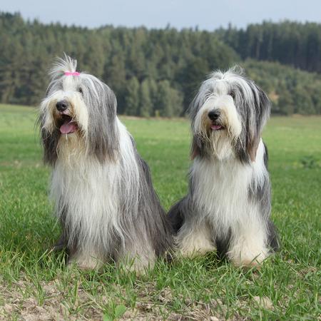 collies: Couple of amazing bearded collies Stock Photo