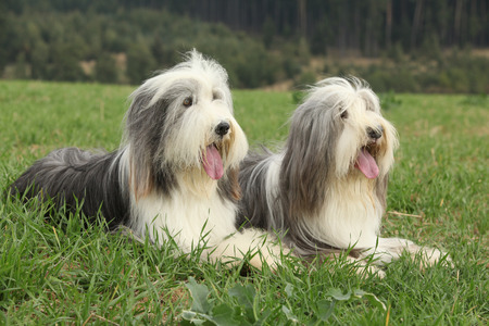 Two amazing bearded collies lying in the grass in later summer Stock Photo