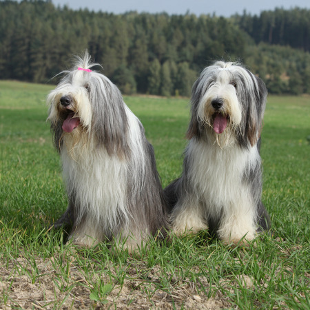 collies: Couple of amazing bearded collies Stock Photo