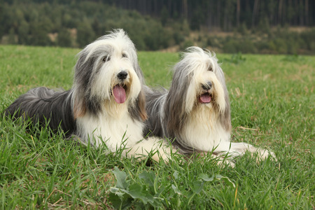 collies: Two amazing bearded collies lying in the grass in later summer Stock Photo