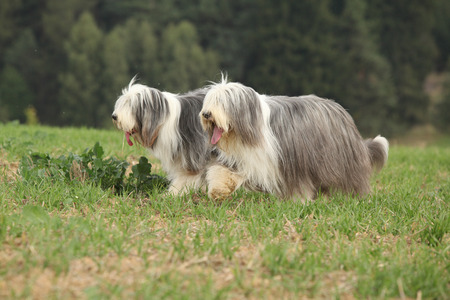 collies: Two amazing bearded collies running together in summer