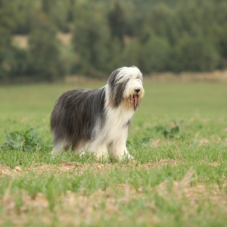 standing alone: Beautiful bearded collie standing alone in the nature
