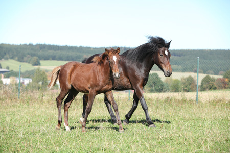 filly: Mare of czech sport pony with its foal running
