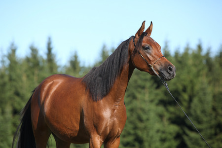 inaction: Portrait of beautiful arabian mare with show halter