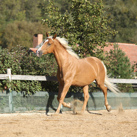 warmblood: Amazing palomino czech warmblood with blond hair running alone Stock Photo