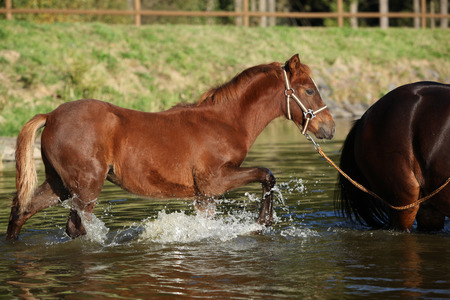 Foal of czech sport pony playing in the water photo