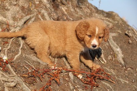 scotia: Amazing puppy of Nova Scotia Duck Tolling Retriever standing on nature roots