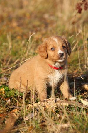 vigilant: Gorgeous puppy of nova scotia duck tolling retriever sitting in nature Stock Photo