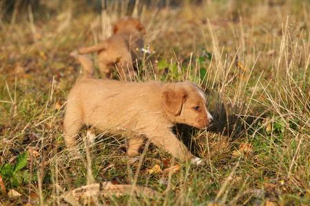 scotia: Gorgeous puppy of Nova Scotia moving in nature Stock Photo