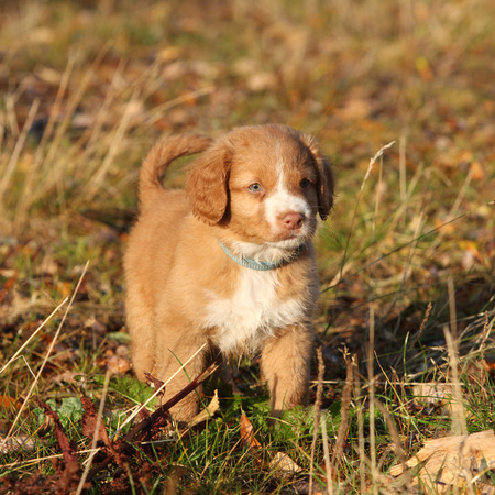 Amazing puppy of Nova Scotia Duck Tolling Retriever standing in nature photo