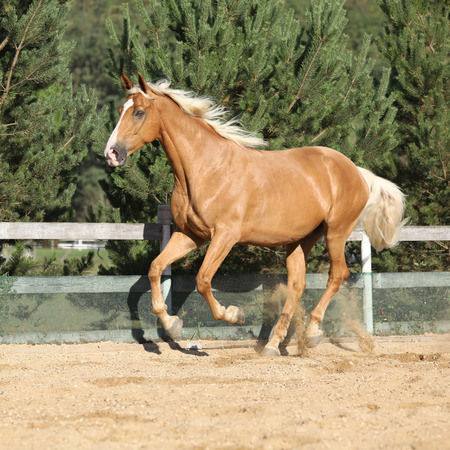 blond hair: Amazing palomino czech warmblood with blond hair running alone Stock Photo