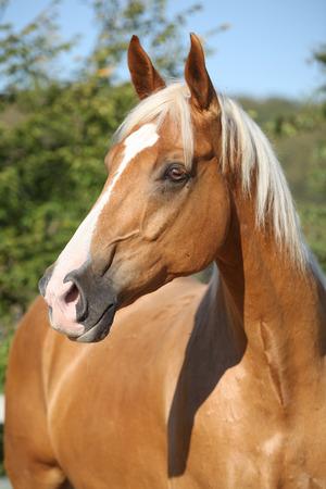 cabello rubio: Incre�ble caballo palomino de warmlood checo con el pelo rubio Foto de archivo