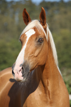blond hair: Amazing palomino horse of czech warmlood with blond hair Stock Photo