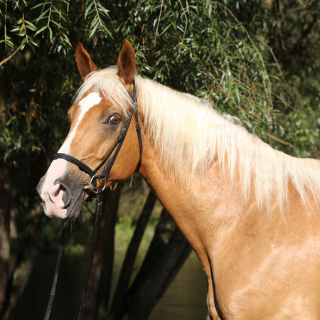 warmblood: Beautiful amazing palomino warmblood with blond hair in autumn