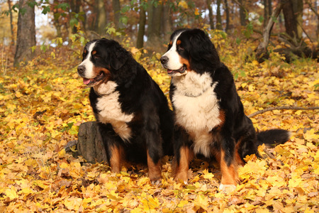 bernese dog: Amazing bernese mountain dog sitting together in autumn forest
