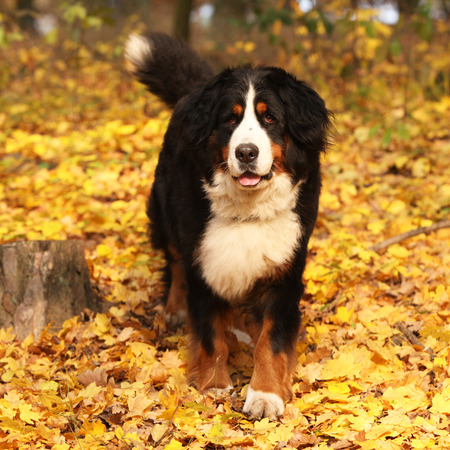 bernese dog: Gorgeous bernese mountain dog standing in autumn forest alone