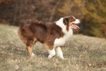 australian shepherd: Amazing beautiful australian shepherd in autumn outdoor Stock Photo