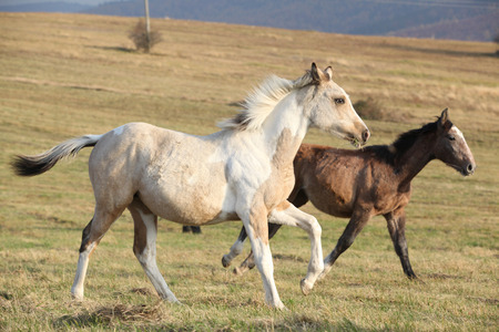 piebald: Two horses running together in freedom on meadow Stock Photo
