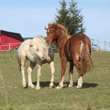 stallions: Two young stallions playing together on pasturage Stock Photo