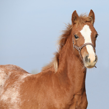 halter: Amazing foal with halter looking at you