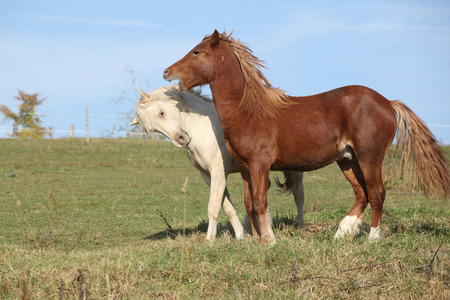 Two young stallions playing together on pasturage photo