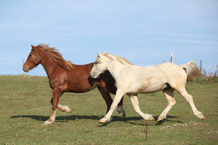 pasturage: Two young ponnies running on autumn pasturage together