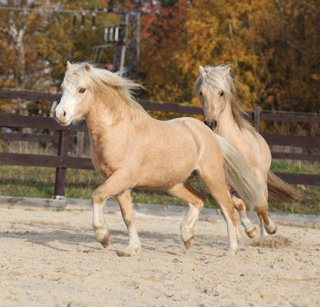 Two amazing palomino stallions playing together in autumn, welsh mountain pony and welsh pony of cob type photo