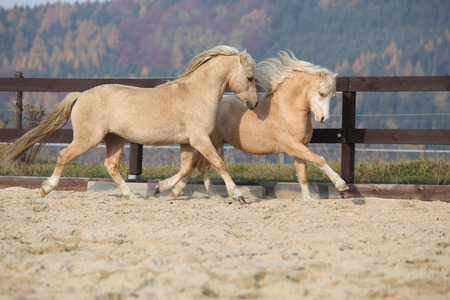 stallions: Two amazing palomino stallions playing together in autumn, welsh mountain pony and welsh pony of cob type Stock Photo