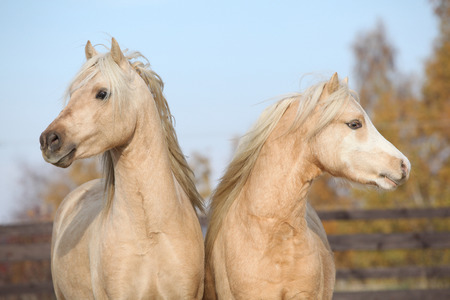 stallions: Two beautiful welsh stallions together in autumn