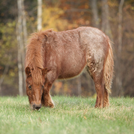 shetland pony: Young shetland pony standing on the grass  in autumn Stock Photo