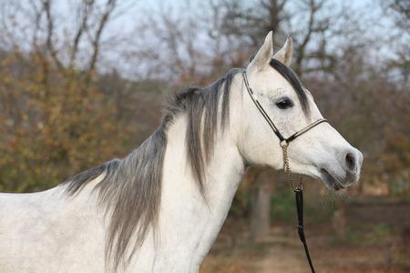 Portrait des erstaunlichen arabisches Pferd mit Show Halfter im Herbst