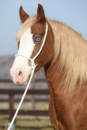 halter: Portrait of beautiful welsh cob mare with halter Stock Photo